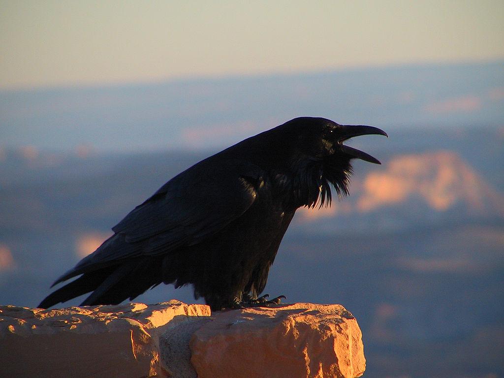 Ворона на камне