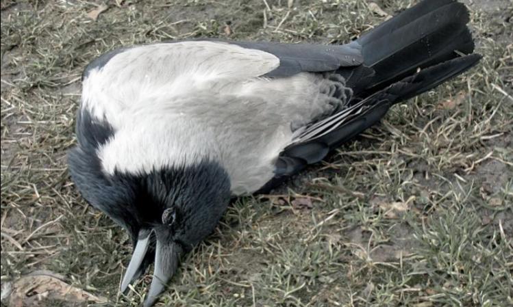 Мертвая ворона